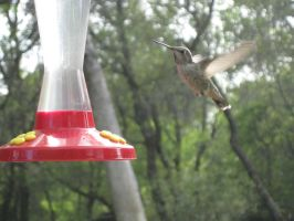 Humming Bird 3 by TheNewCoyote