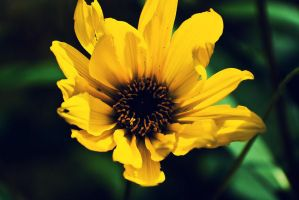 .:.Yellow beauty.:. by Ailedda