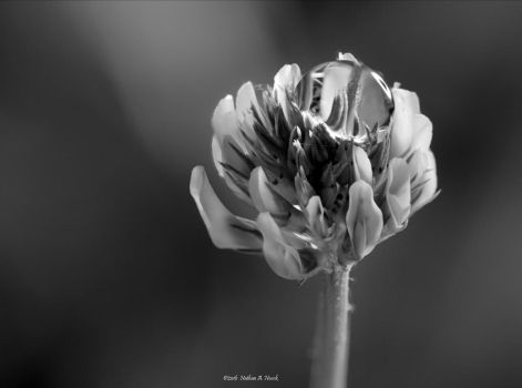 Clover by abstractcamera