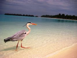 Heron in the Maldives by x----eLLiE----x