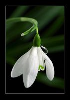 the late snowdrop by selester