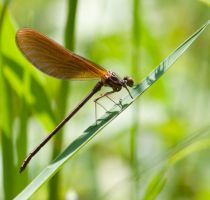 Dragonfly from France 6 by AnemyaPhotoCreations