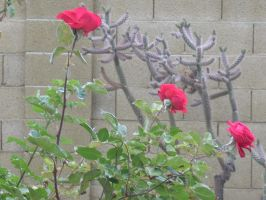 Chrysler Imperial Rose and Jumping Cholla-02 by hummingbird88