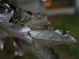 Acer platanoides by entropy462