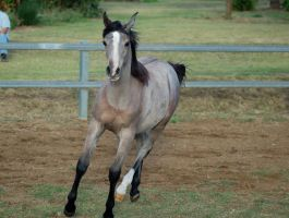 JA Arab yearling trot from front on by Chunga-Stock
