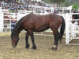 Rodeo Horse Stock 13 by horsecrazycool