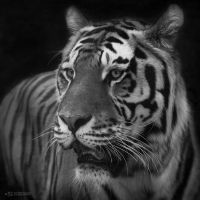 Sibiran Tiger, Mulhouse I by FGW-Photography