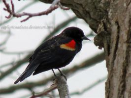 Red-winged Blackbird by euphoricmadness