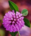 Red Clover Macro by Matthew-Beziat