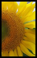 Sunflower by picworth1000wrds