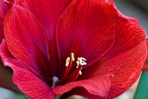 Red Amaryllis by muffet1