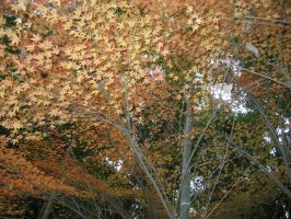 Fall Leaves in Matsuyama by TaskedAngelStock