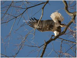 Bald Eagle 003 by Lovesong4no1