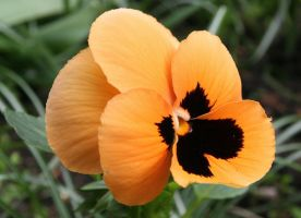 orange pansy by MadameMimii