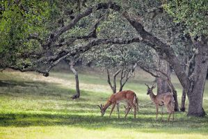 Texas Deer by clippercarrillo