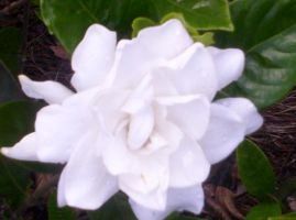 Snow White After Rainfall by Jessica17