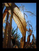 Autumn Series 2- Corn Stalk by katherineannecarlson