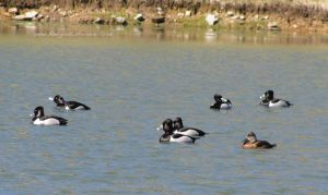 ring-necked ducks 4 by Kimi-Parks