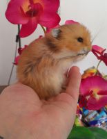 Golden Hamster Lifesize Mount Taxidermy by DeerfishTaxidermy