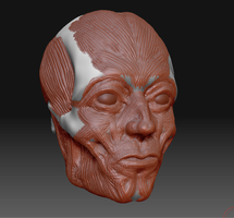 Zbrush face muscle study by Dill-n