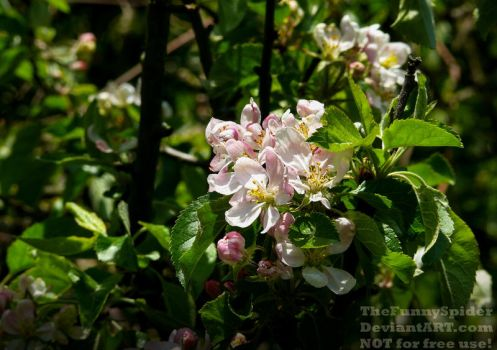 Apple tree blossoms - Germany 2017 by TheFunnySpider