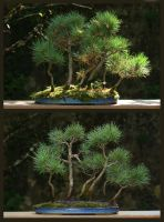 Bonsai Forest by organicvision