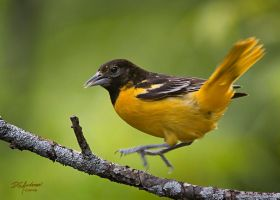 Jumping Oriole by DGAnder