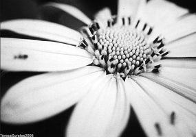 sunflower in bw by ayanosuke01
