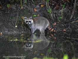 Raccoon by Electricwaterphoto