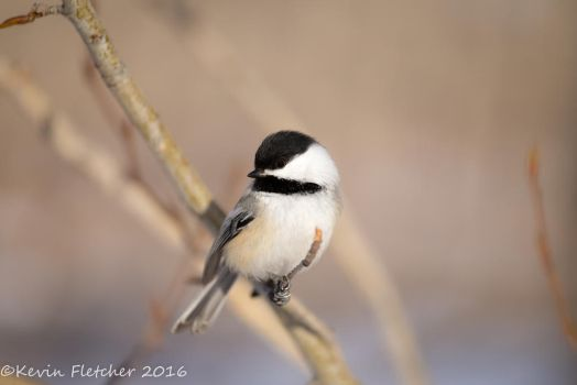 Chickadee by sgt-slaughter