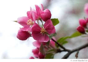 Pink Crabapple Light by butterfly36rs