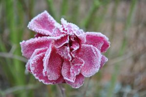 Icy rose 2 by Izzy-Nightshade