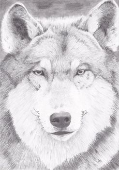 Wolf by Summia-art