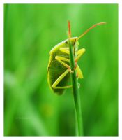 Beetle on a blade of grass by selley
