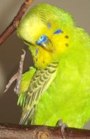 Adorable budgie by greencheek