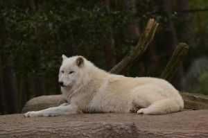 Arctic Wolf 21 by Lakela