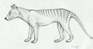 thylacine sketch by hystree