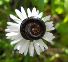 daisy and millipedes by FuriarossaAndMimma