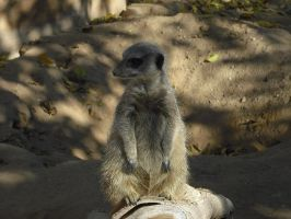 Meerkat by Theheartcanburn