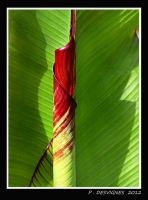 abyssinian banana by bracketting94