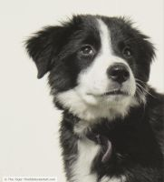 Border Collie by The-Tiger-Thief