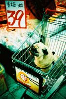 pug in shopping cart by pug-friends