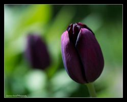 A full bodied red wine of a tulip by LordLJCornellPhotos