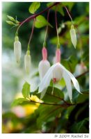 White Fuchsia by butterfly36rs