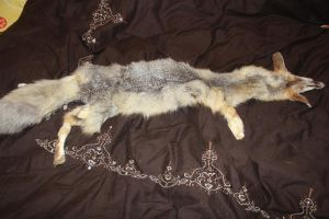 FOR SALE: Swift/Kit Fox Pelt by romancer