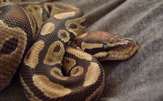 Snake 2 by uncommonman