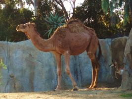 SD Zoo - Camel 1 hump by sychoblustock