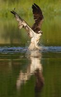 Reflections - Osprey with rainbow trout by Jamie-MacArthur