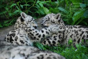 Snow Leopard Cubs 02 by filemanager