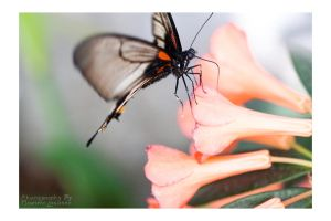 Butterfly by Kalarm